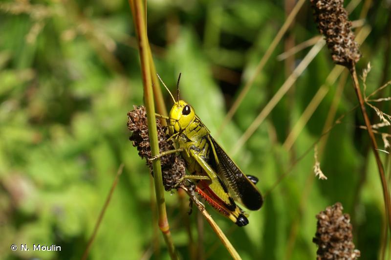 Arcyptera fusca
