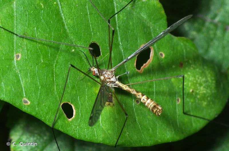 Tipula sarajevensis