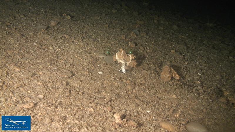 V.2.1. - Biocénose des sables détritiques bathyaux à <em>Gryphus vitreus</em> (SDB) - Biocénoses benthiques de Méditerranée