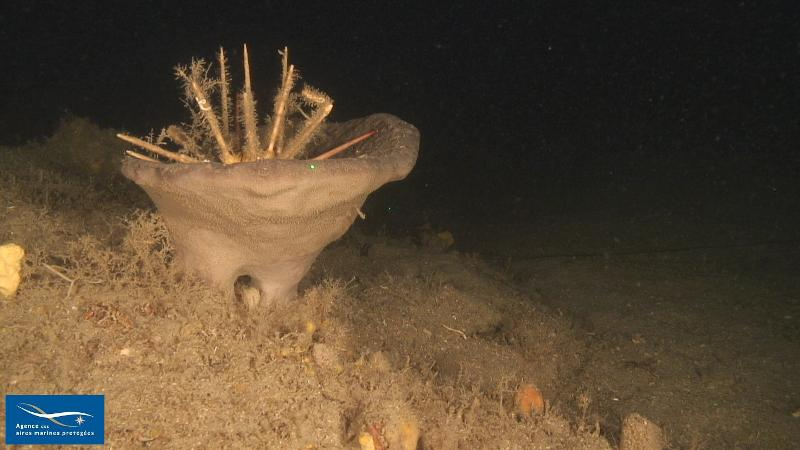 Spongia (Spongia) lamella