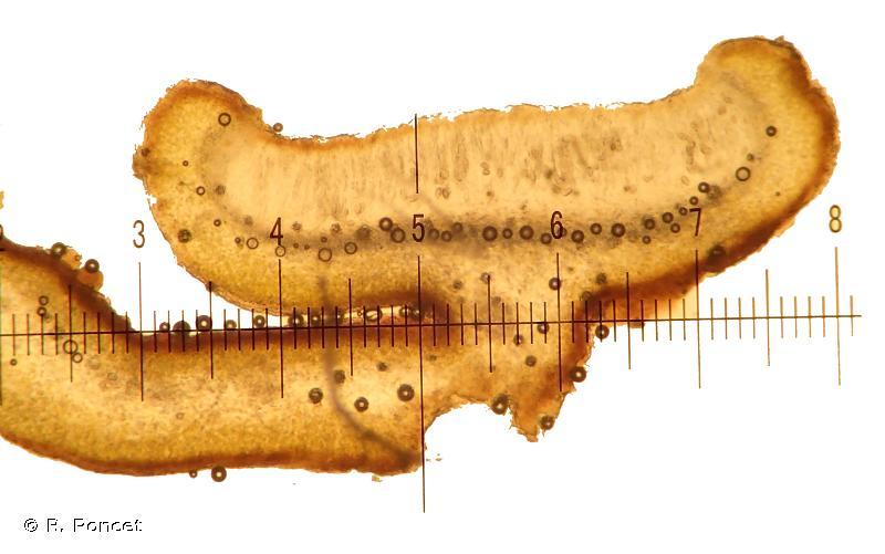 Collema auriforme