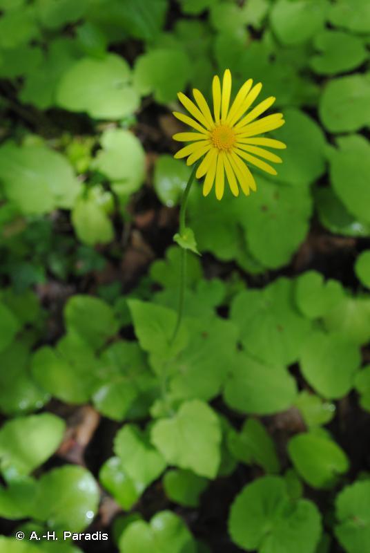 Doronicum pardalianches