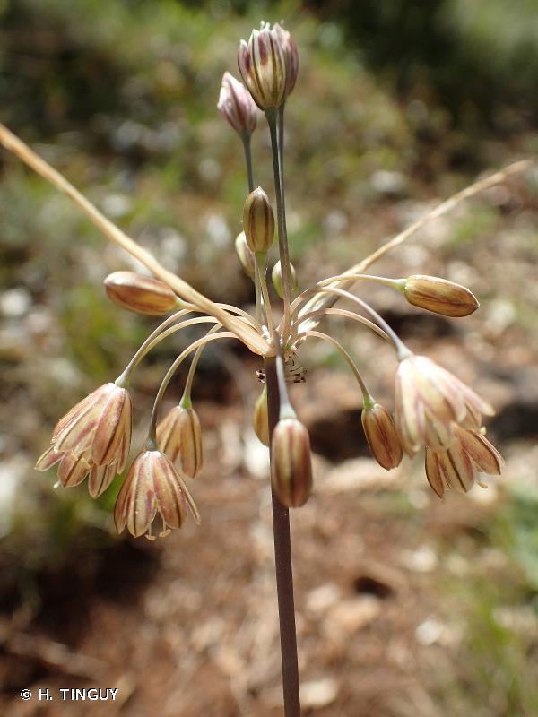 Allium oporinanthum