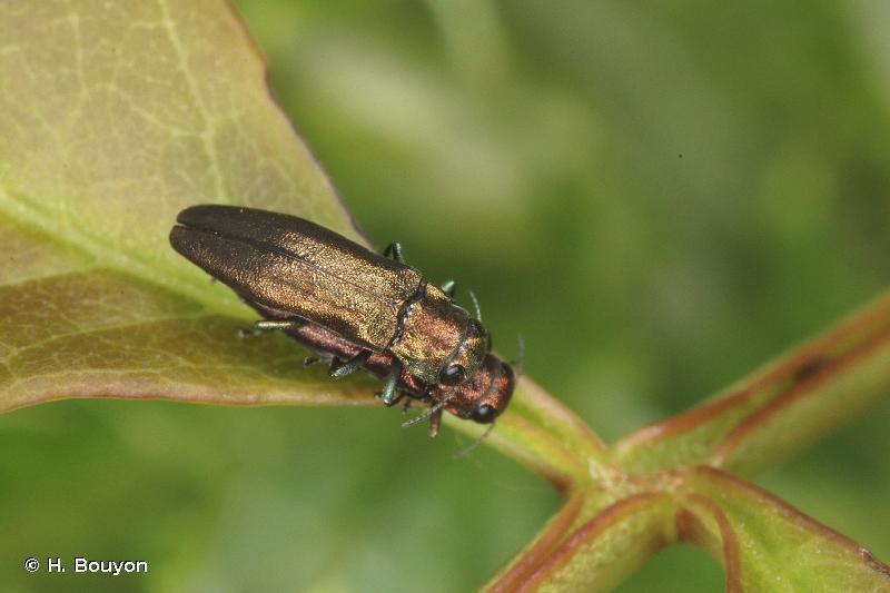 Agrilus convexicollis