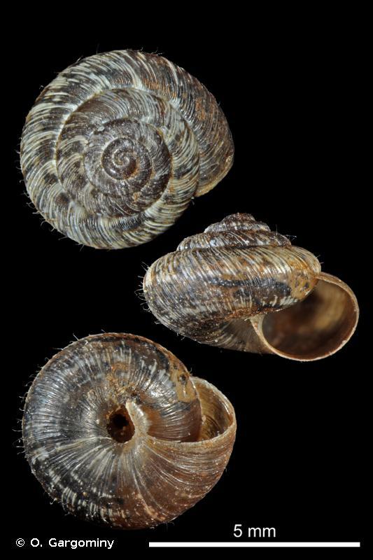 Microxeromagna lowei