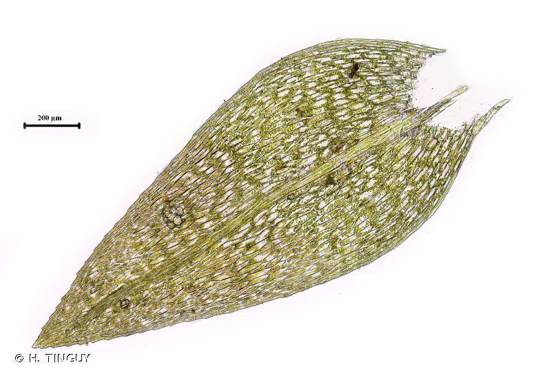Pohlia wahlenbergii