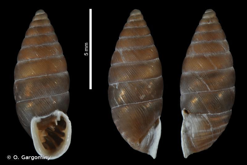 Granaria frumentum illyrica