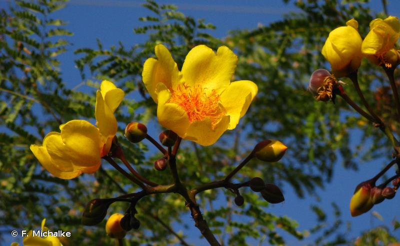 cochlospermum vitifolium pdf