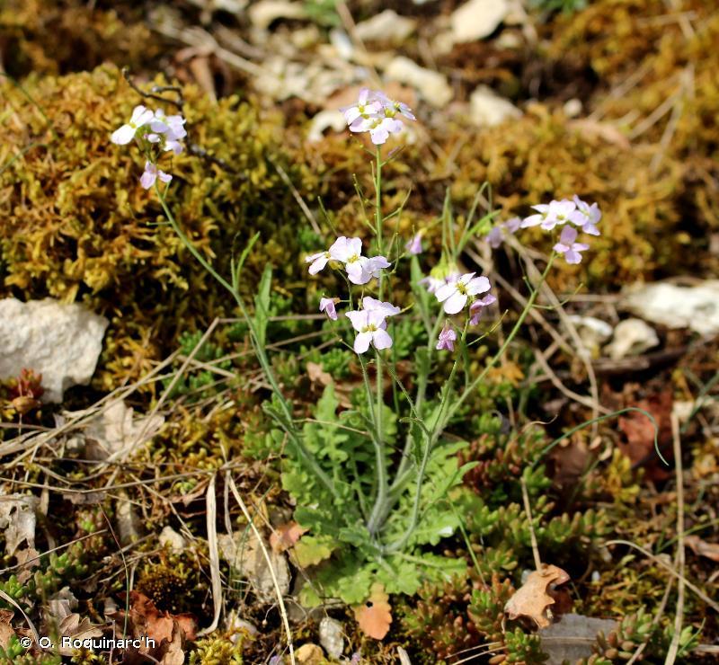 Arabidopsis arenosa