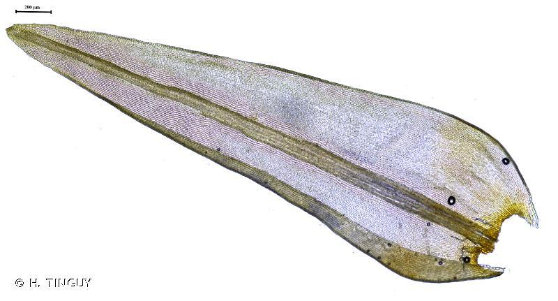 Racomitrium aquaticum