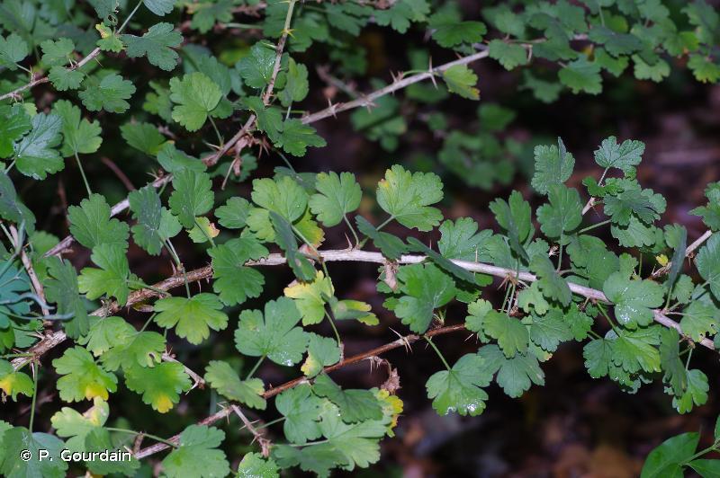 Ribes uva-crispa