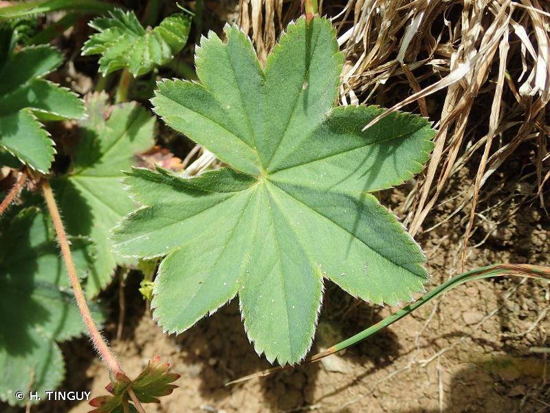 Alchemilla hybrida