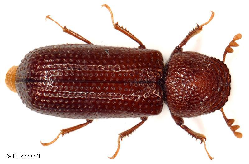 Rhyzopertha dominica