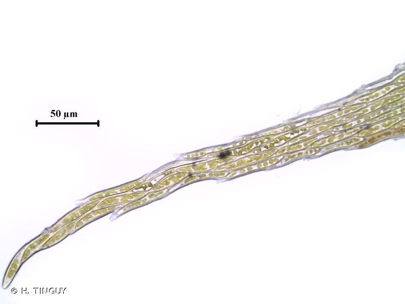Hypnum pallescens