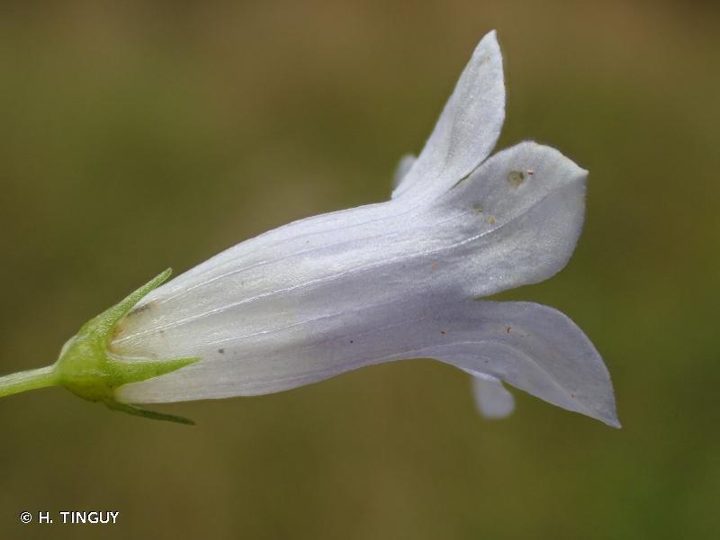 Wahlenbergia hederacea