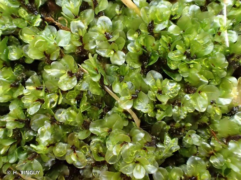 Rhizomnium pseudopunctatum
