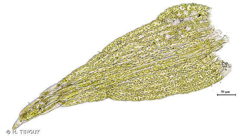 Dicranella staphylina