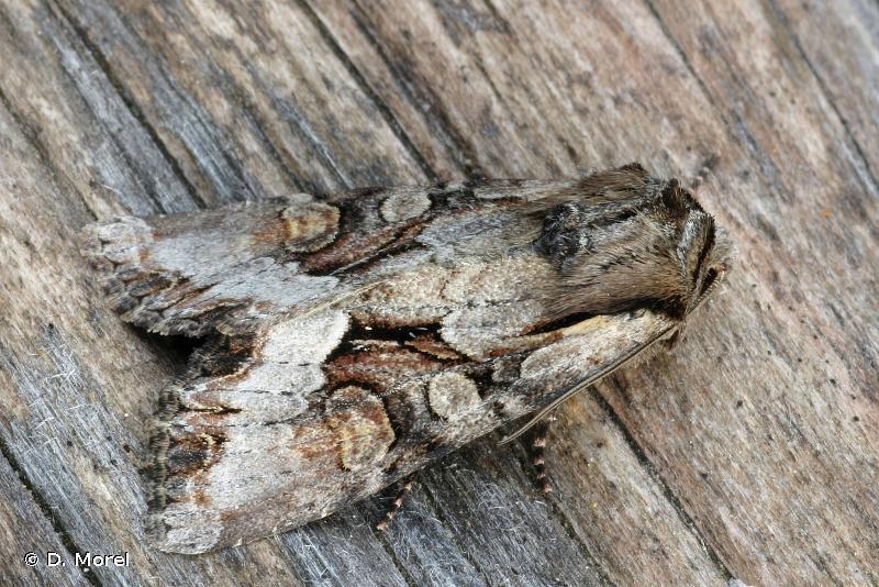 Lacanobia w-latinum