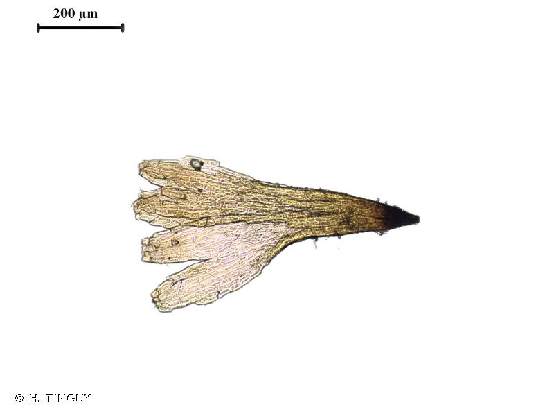 Brachydontium trichodes
