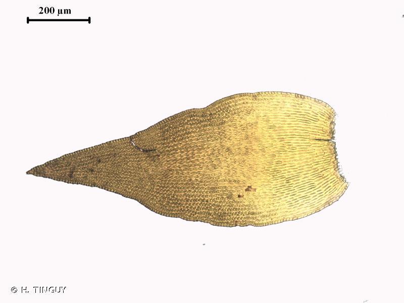 Andreaea rupestris