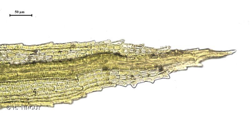Saelania glaucescens