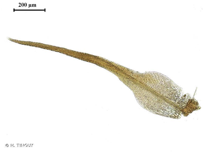 Seligeria recurvata