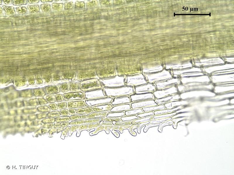 Eucladium verticillatum