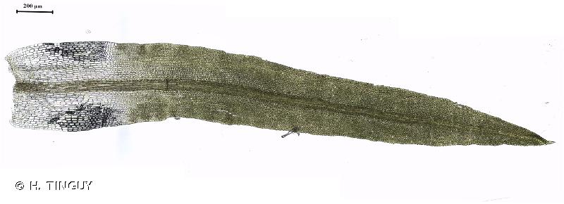 Chionoloma tenuirostre