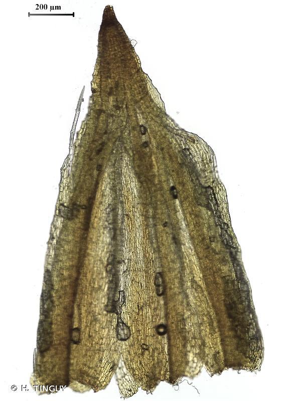 Orthotrichum diaphanum