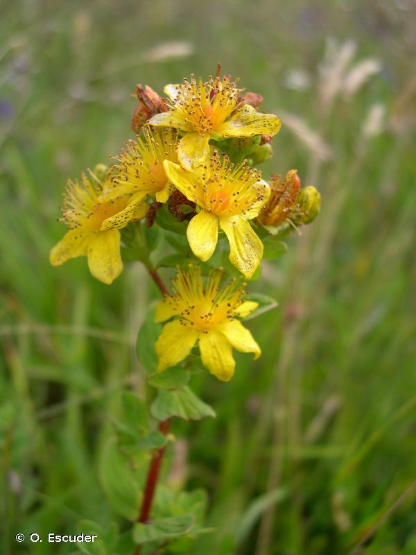 Hypericum maculatum subsp. maculatum