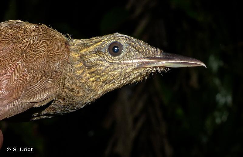Deconychura longicauda