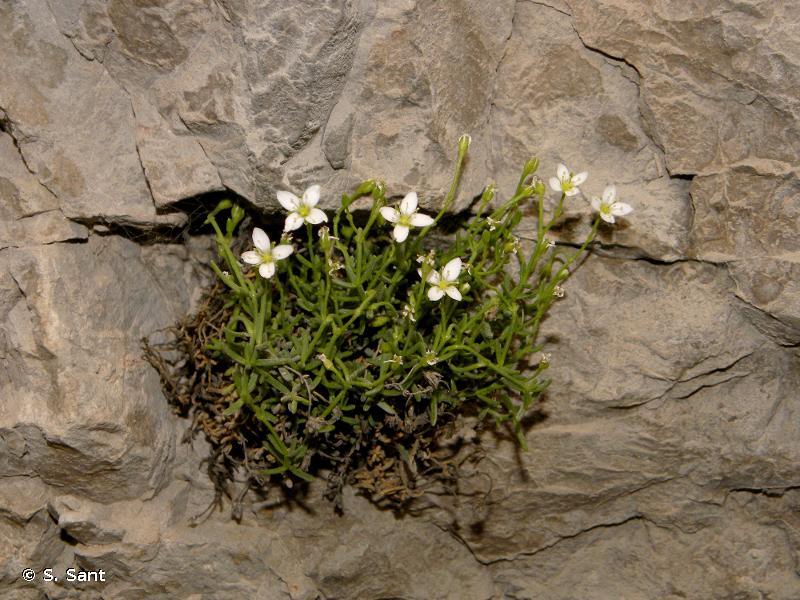 Moehringia sedoides
