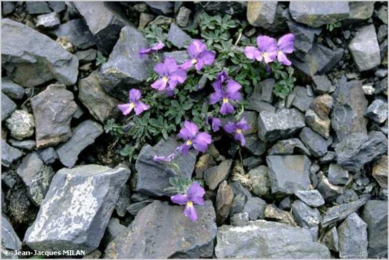 Viola diversifolia