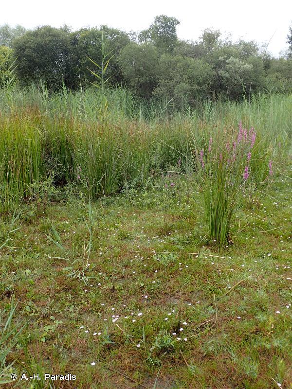 <em>Eleocharitetalia multicaulis</em> B. Foucault 2011 - Prodrome des végétations de France décliné (PVF2)