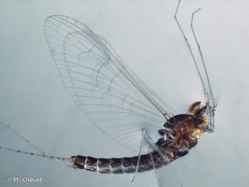 Cloeon dipterum