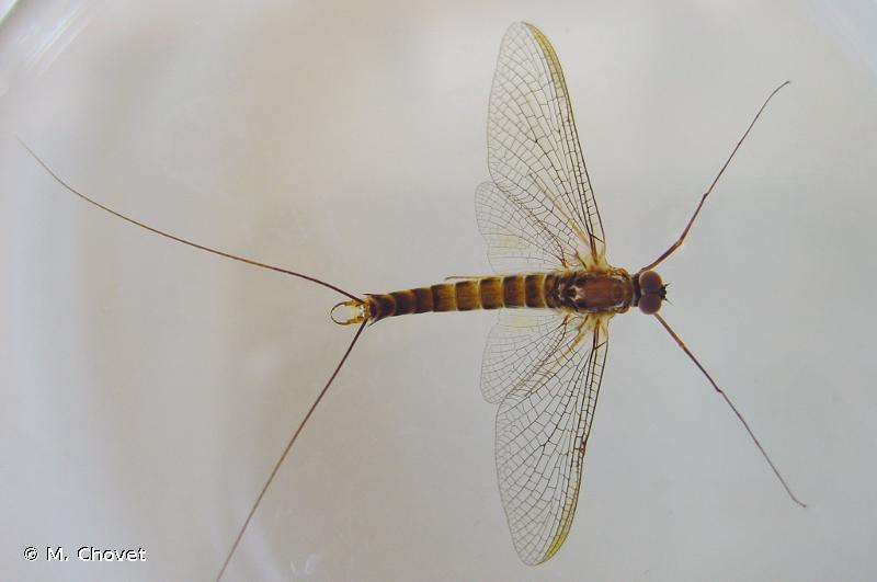 Siphlonurus aestivalis