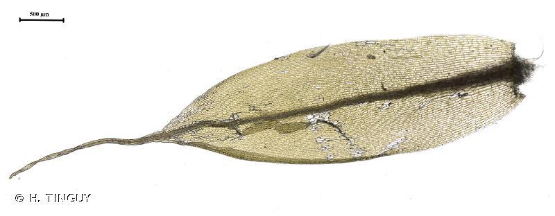 Tetraplodon mnioides