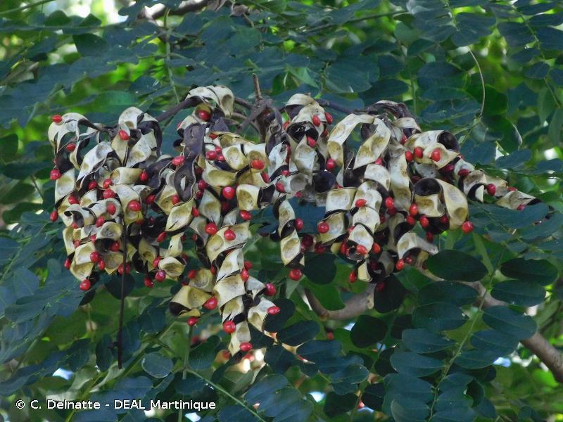 Adenanthera pavonina