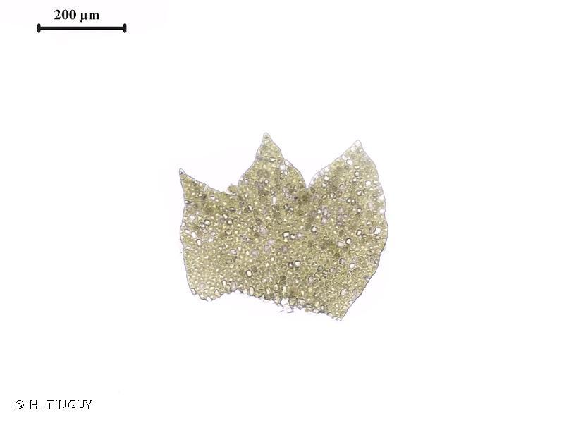 Neoorthocaulis attenuatus