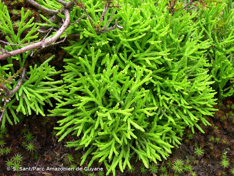 Lycopodium zeilleri