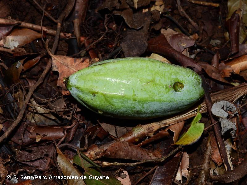 Jacaratia spinosa