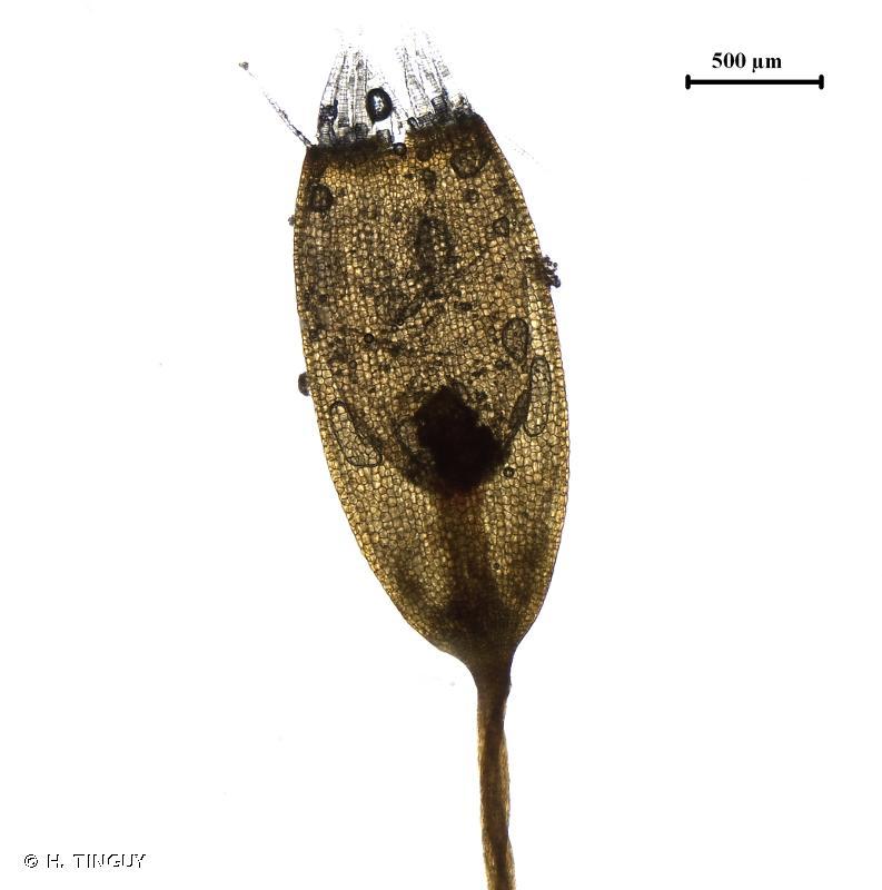 Plagiothecium piliferum