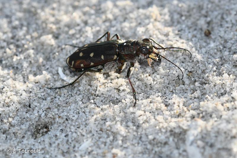 Calomera littoralis quadripunctata