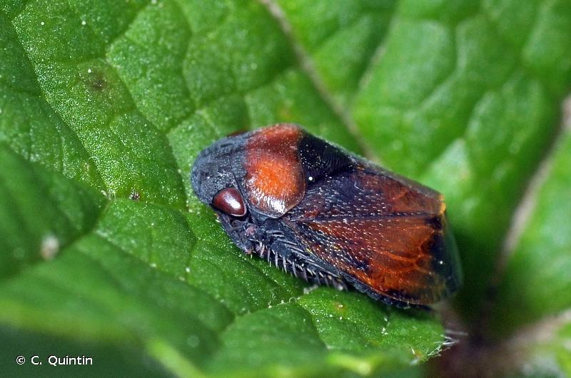 Penthimia nigra