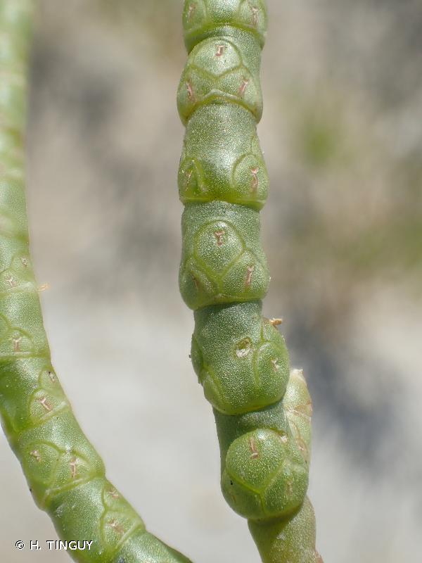 Salicornia procumbens
