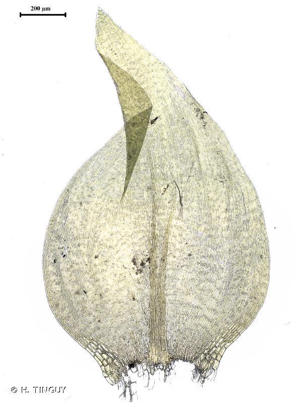 Hygrohypnum ochraceum