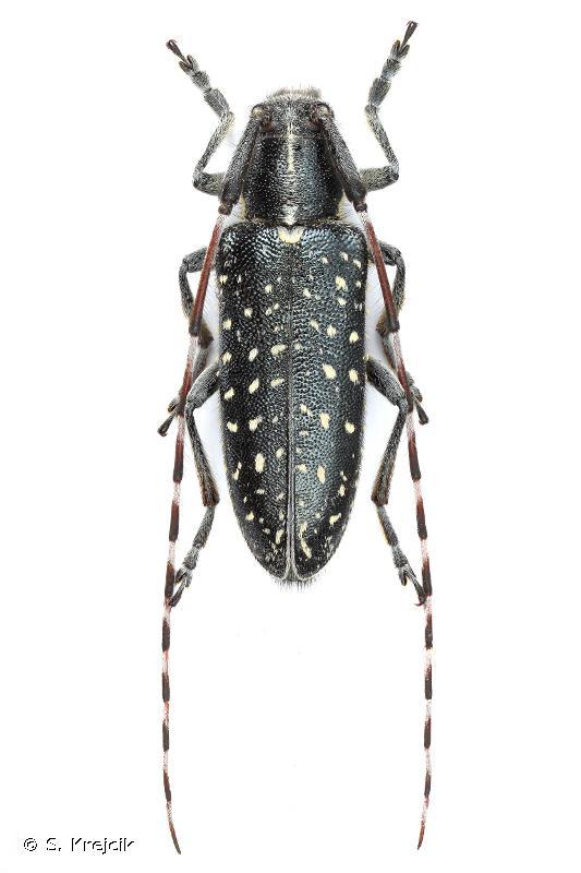 Agapanthia irrorata