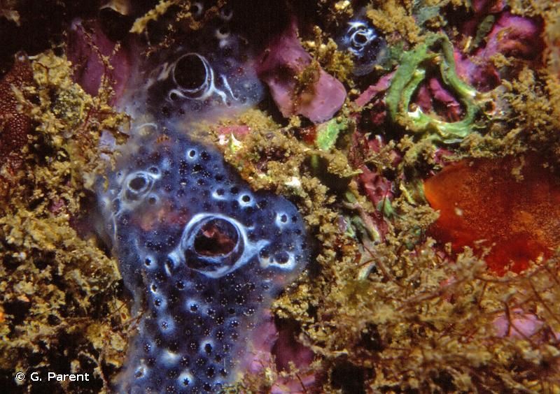 Diplosoma spongiforme