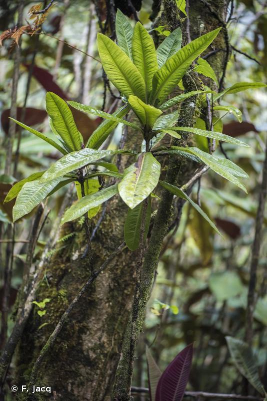 Myrsine longifolia