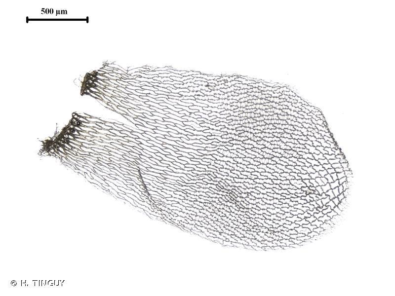 Sphagnum papillosum